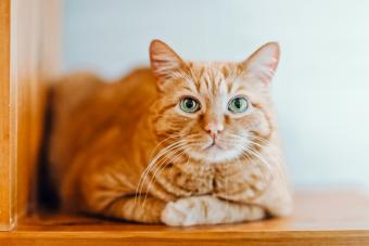 Ginger Cats is Sitting on a shelf