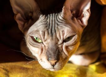 Sphynx Donskoy Cat