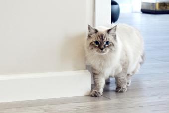 Siberian Cat At Home