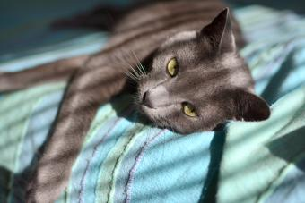 Russian blue cat laying on the bed in sunny morning