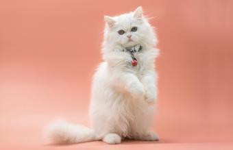 Persian kitten standing