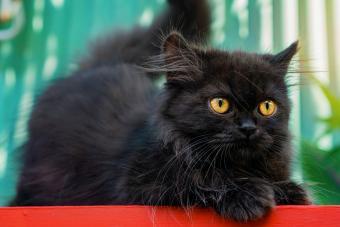 Black Cat Looking at Camera