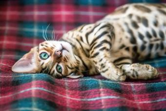 143 Bengal Cat Names From Fierce to Majestic