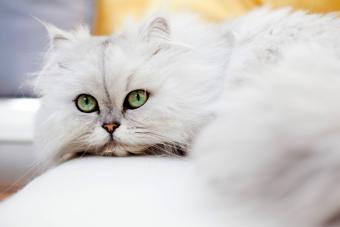120+ Persian Cat Names for Cute, Elegant Cats