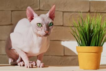 Beautiful sphynx cat