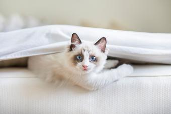 139 Ragdoll Cat Names as Irresistible as Your Pet's Personality