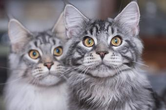 157 Creative Maine Coon Names for Distinctive Cats