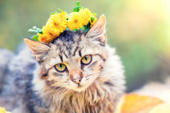 Siberian cat in the autumn garden