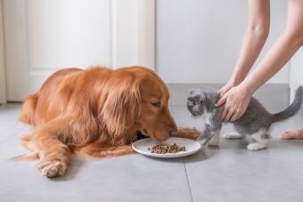 Cat taken away from dog food