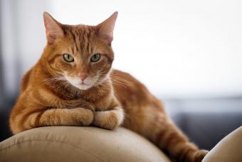 Ginger Cat Lying On Sofa At Home