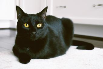 Black Cat Sits on Kitchen Rug