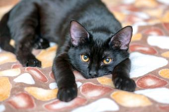 Domestic black Cat looking in front of Camera
