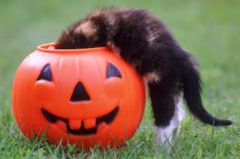 Kitten Peeking Into Trick-Or-Treat Pumpkin