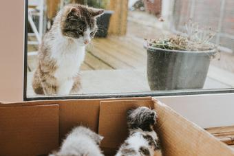 Kittens in a cardboard box, adult cat looks curiously