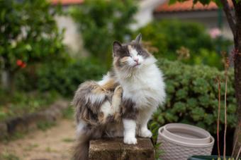 Calico cat scratching