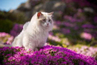 Ragdoll Cat in Pink Flowers