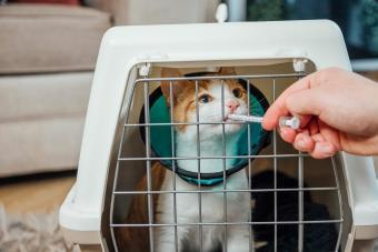 Ginger cat sitting in a cat carrier owner is feeding him medicine
