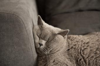 Close up of British Short Hair cat sleeping on couch