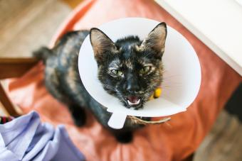 Cat wearing the cone of shame