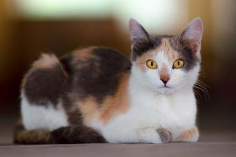 91 Colorful Calico Cat Names