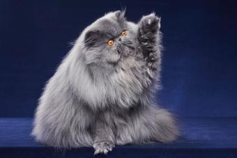 gray persian cat with paw up