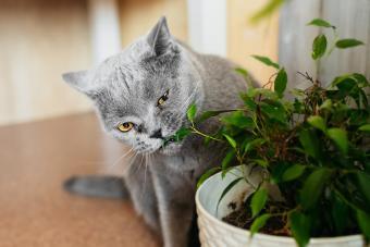 British Purebred Gray Shorthair Cat Nibbles On Green Ficus Benjamin Plant In Pot