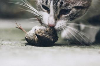 Cat eating a bird