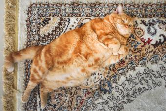 A very fat cat is lying on the сarpet on its back
