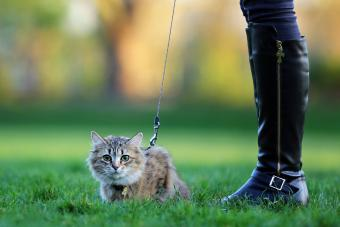 Outdoor cat on a leash