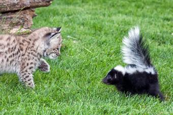 Cat Sprayed by a Skunk? Guide to a Smell-Free Kitty