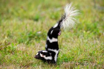 Skunk doing handstand getting ready to spray