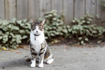 Cat outdoors wearing collar