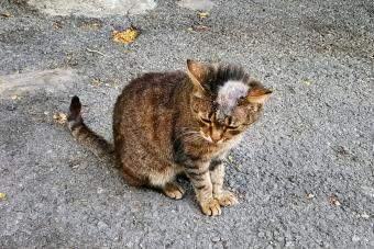 Sick cat with ringworm