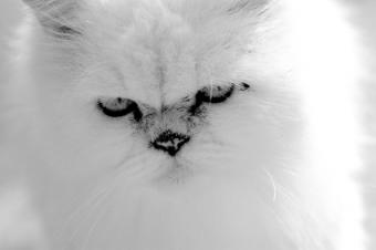 Closeup of a Himalayan kitten with light points