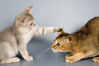 Feline Rivalry and Aggression