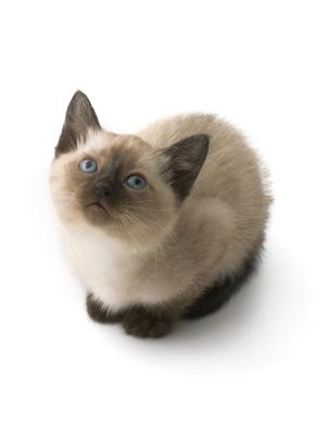 Questions About Siamese Kittens