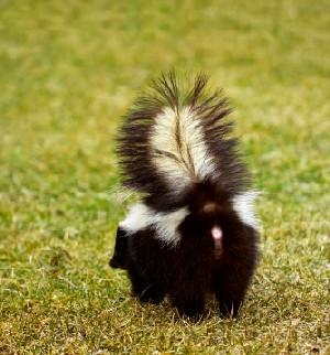 What to Do if Your Cat Gets Sprayed by a Skunk