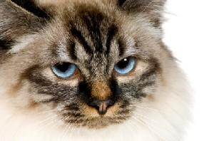 Serious-looking male cat