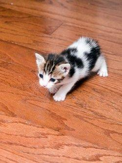 Yound Manx kitten