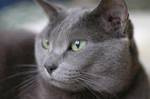 Russian Blue close up