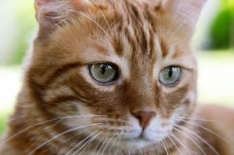 Image of a yellow tabby cat
