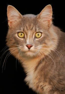 Light gray tabby with yellow eyes