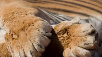 lion paws