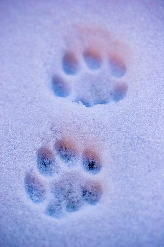 More snowy cat prints