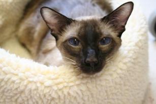 Siamese cat in a cat bed