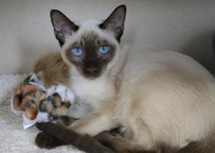 siamese cat with a toy