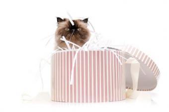 38 Cute Himalayan Kitten Names