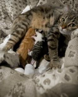 Stages of Feline Labor and Birth