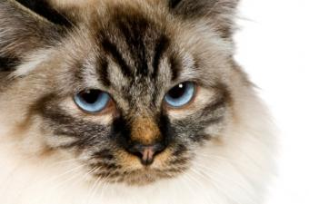 All About Birman Cats