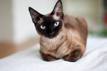 Cat Ear Mite Symptoms